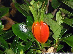 gardenia_jasminoides_fruit_close.jpg