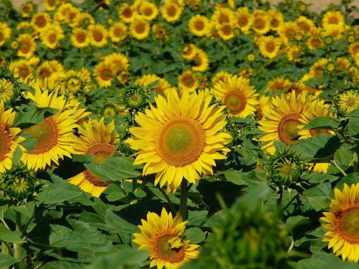 Gardening Forums Sunflower Competition.JPG