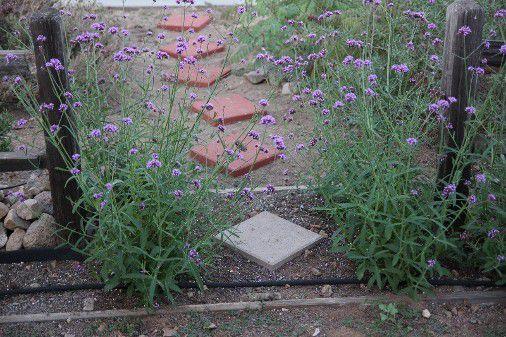 Gardening - Front Yard 918201714.JPG