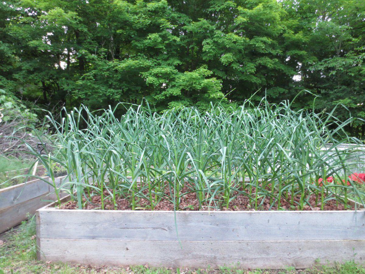 garlic bed.JPG