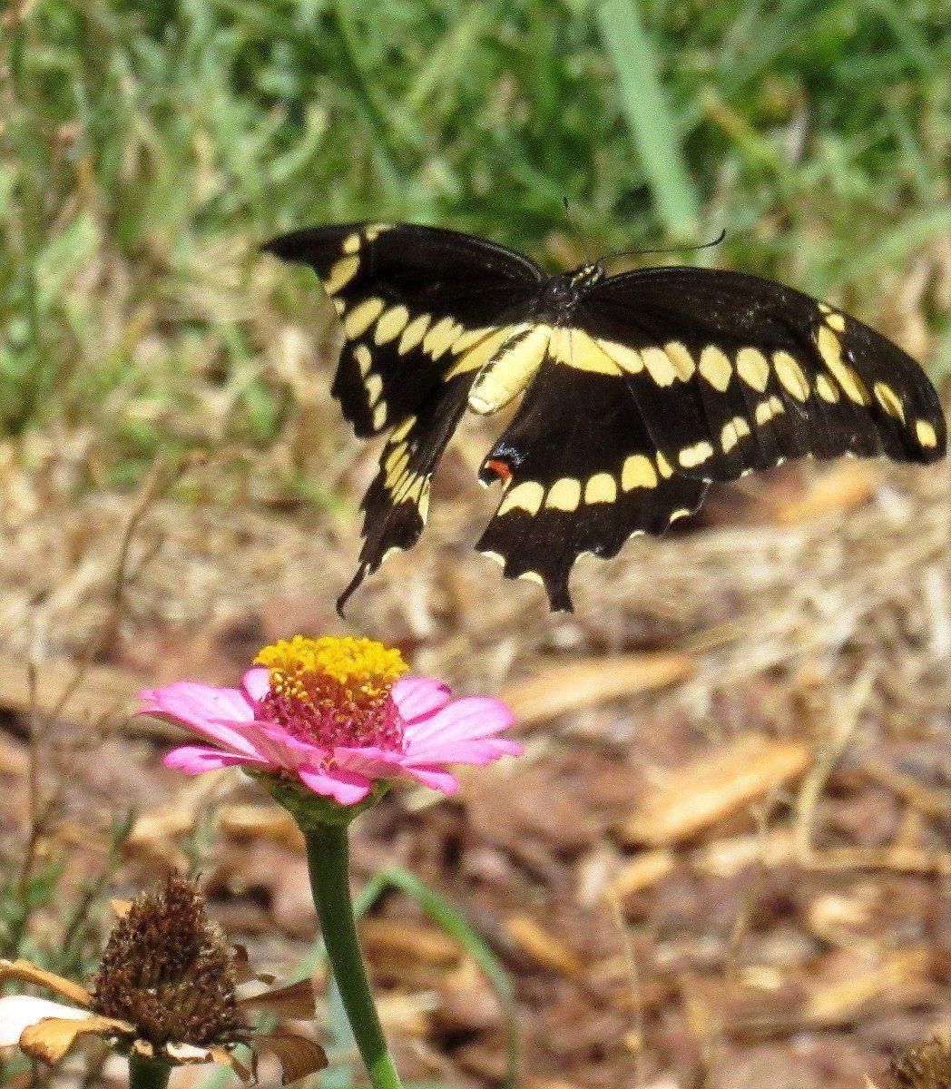Giant Swallowtail b.jpg
