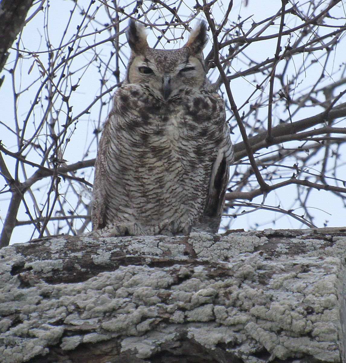 Great Horned Owl 7.jpg