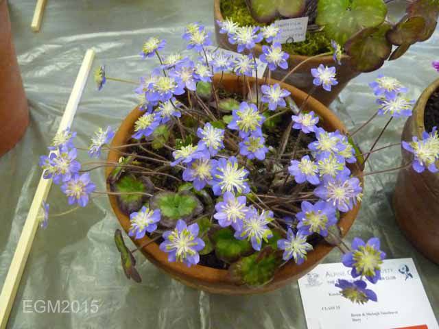 Hepatica japonica Blue Sandan.jpg