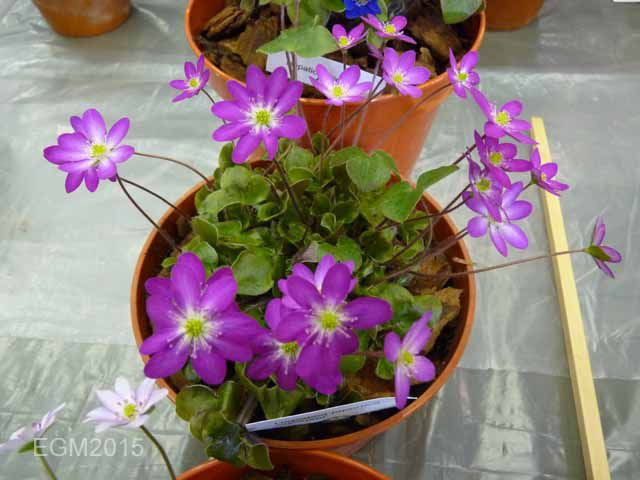 Hepatica japonica Gyousei.jpg