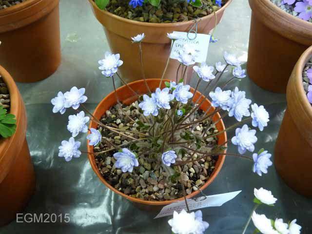 Hepatica japonica Haruno awayuki.jpg