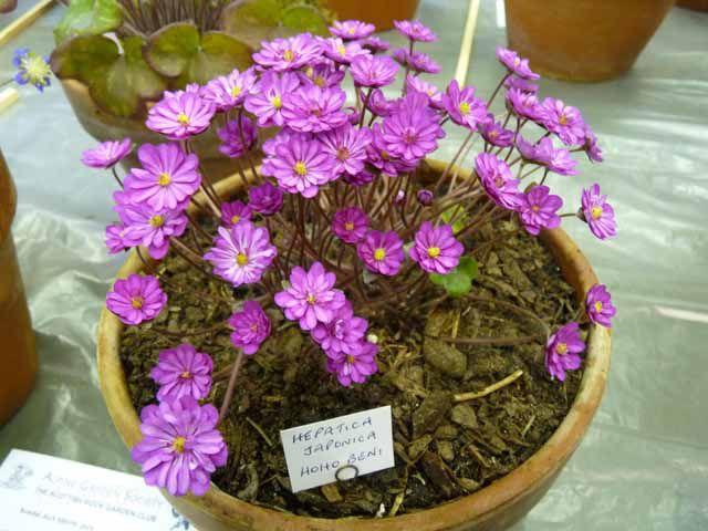 Hepatica japonica Hoho Beni.jpg