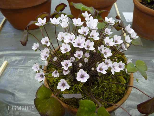 Hepatica japonica Ryousetsou.jpg