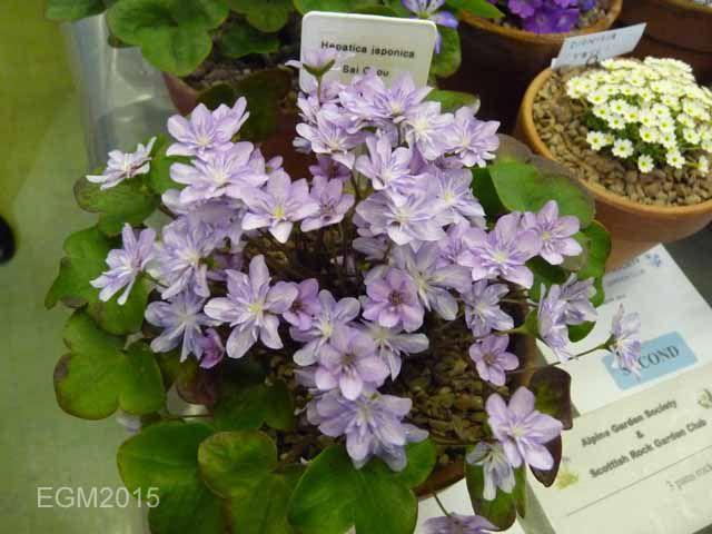 Hepatica japonica Sai Chou.jpg