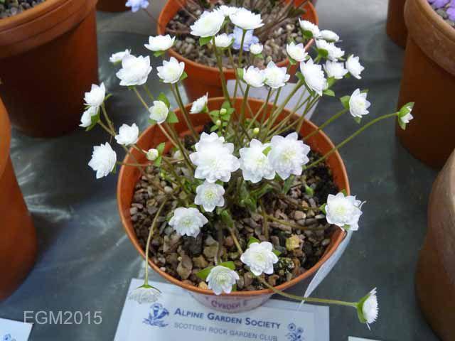 Hepatica japonica Touryoku..jpg