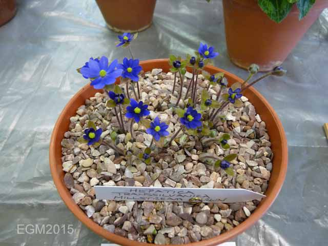Hepatica Millstream Merlin.jpg
