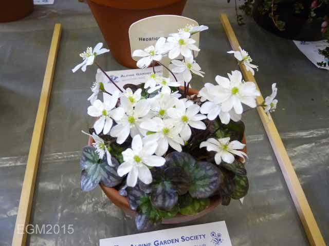 Hepatica pyrennaica alba.jpg