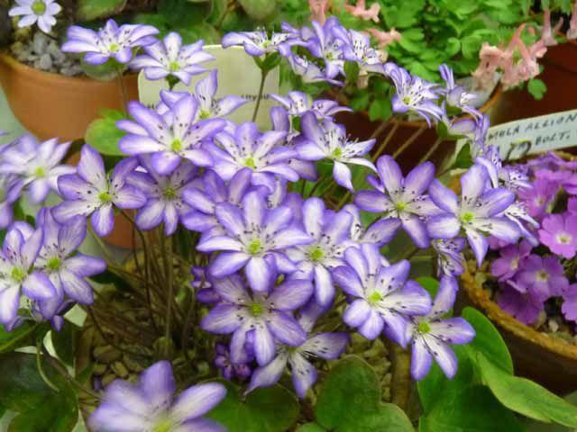 Heptaica japonica Utyuu.jpg