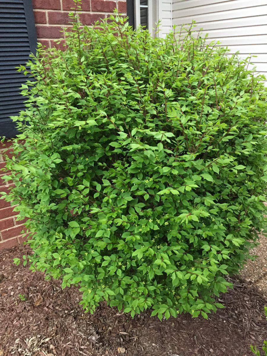 Fresh Help identifying shrubs | Gardening Forums YB46