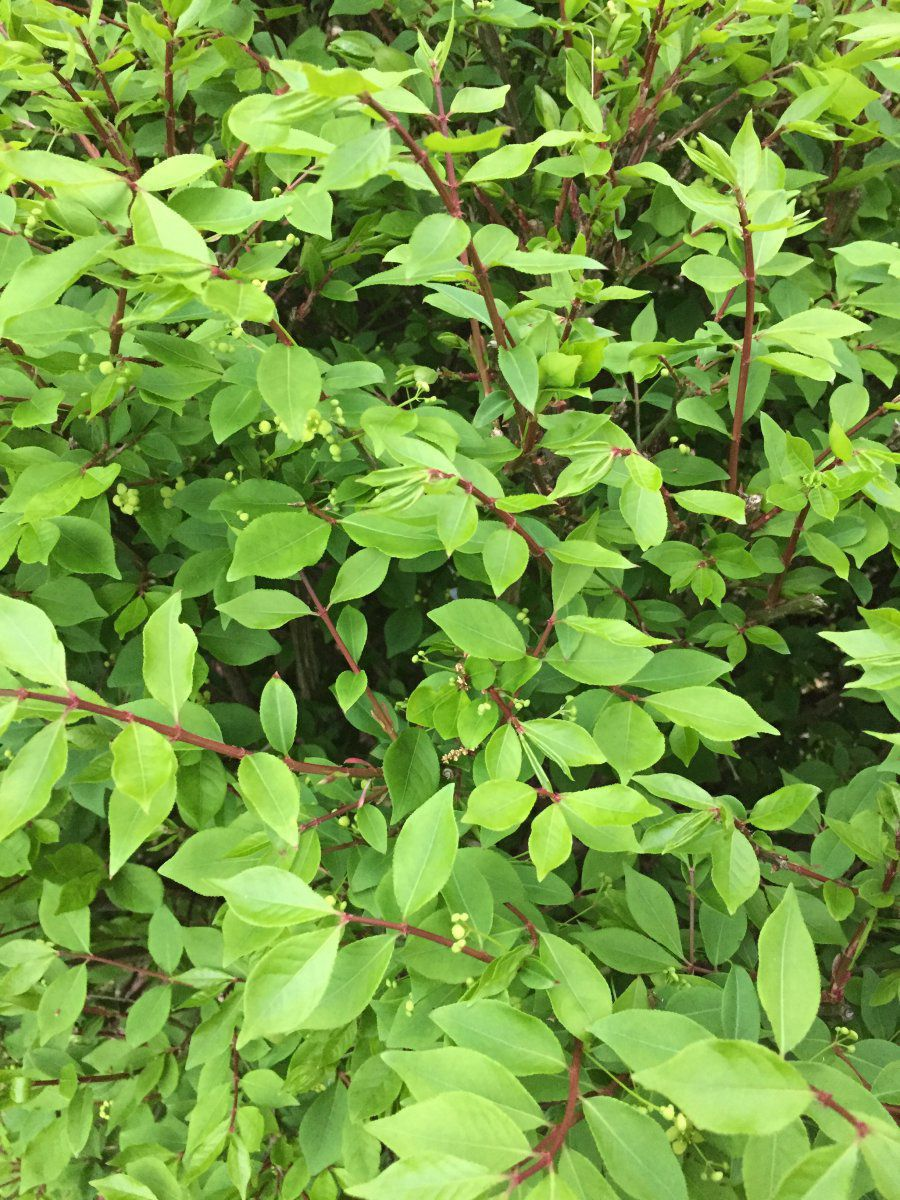 Perfect Help identifying shrubs | Gardening Forums JK59