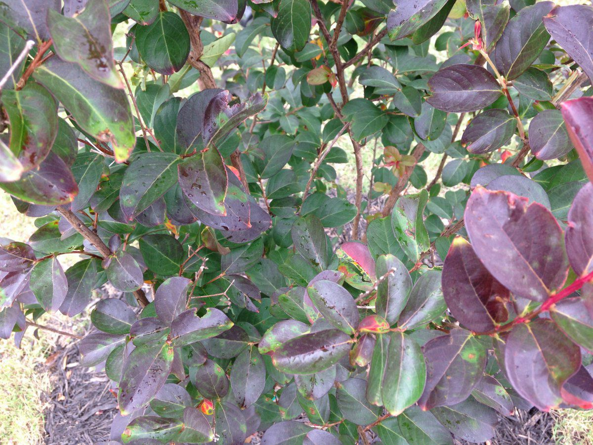 Red Rocket Crape Myrtle Leaves Turning Dark Black