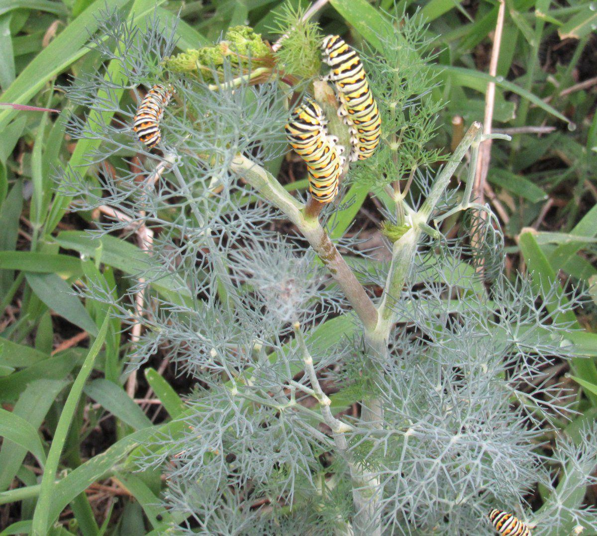 instars on dill.jpg