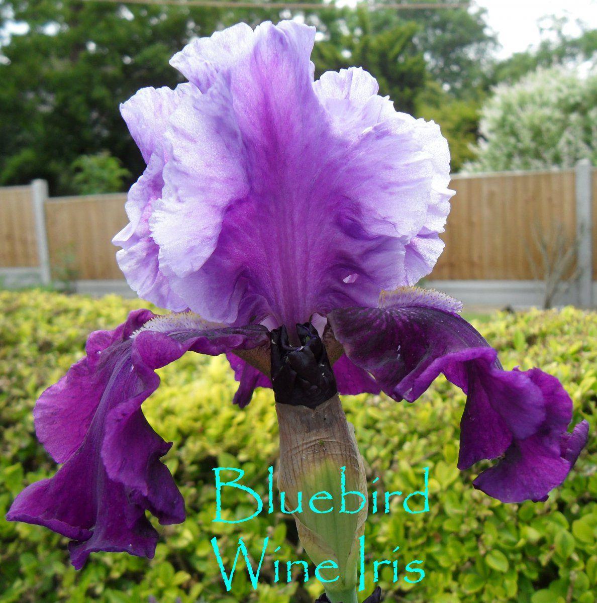 IrisBlueb.jpg