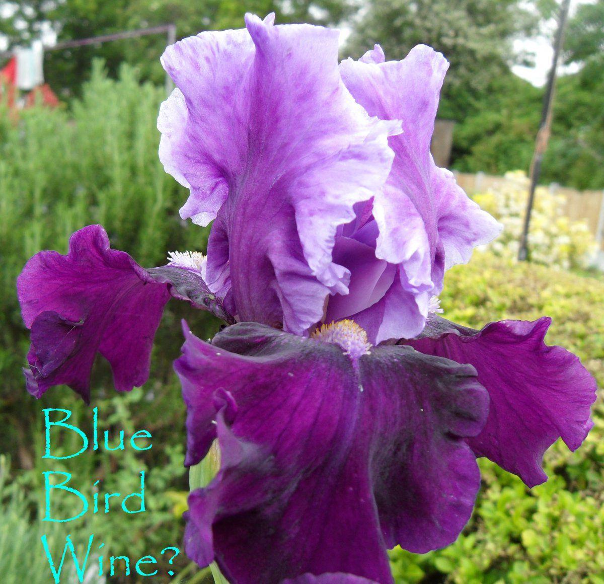 IrisBlueBw.jpg
