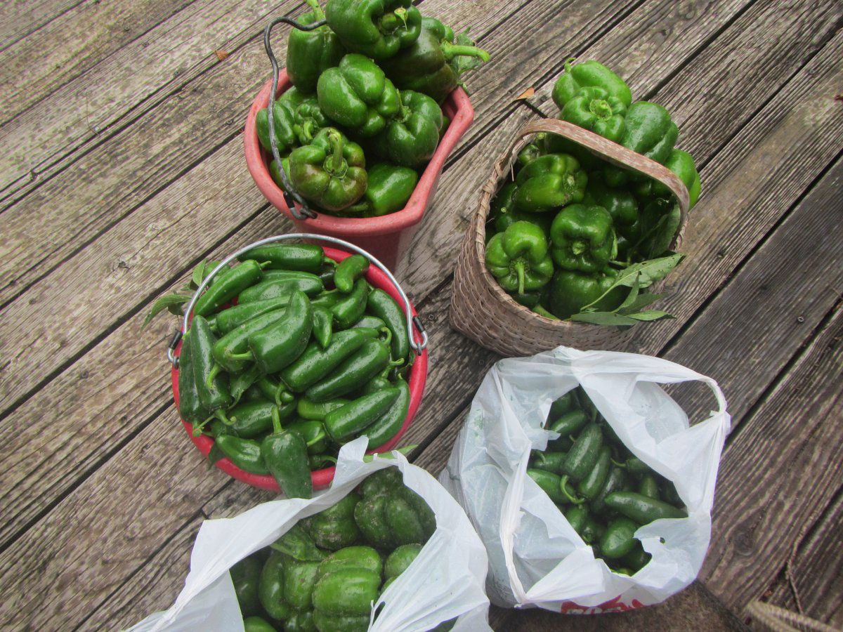 jalapenos and bells.JPG
