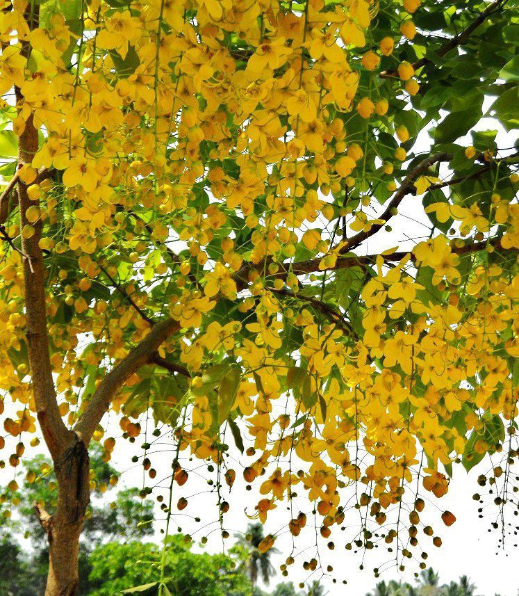 The most beautiful flowering trees in your garden for Most beautiful garden trees