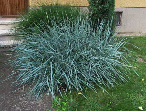Ornamental grasses gardening forums for Blue ornamental grass varieties