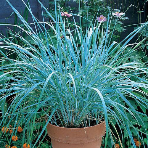 Ornamental grasses gardening forums for Small blue ornamental grass