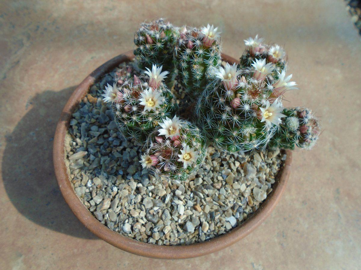 Mammillaria gracilis.JPG
