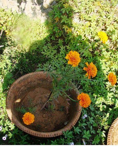 marigoldgrace.jpg