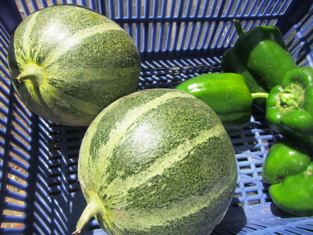 melon 2014 001.jpg
