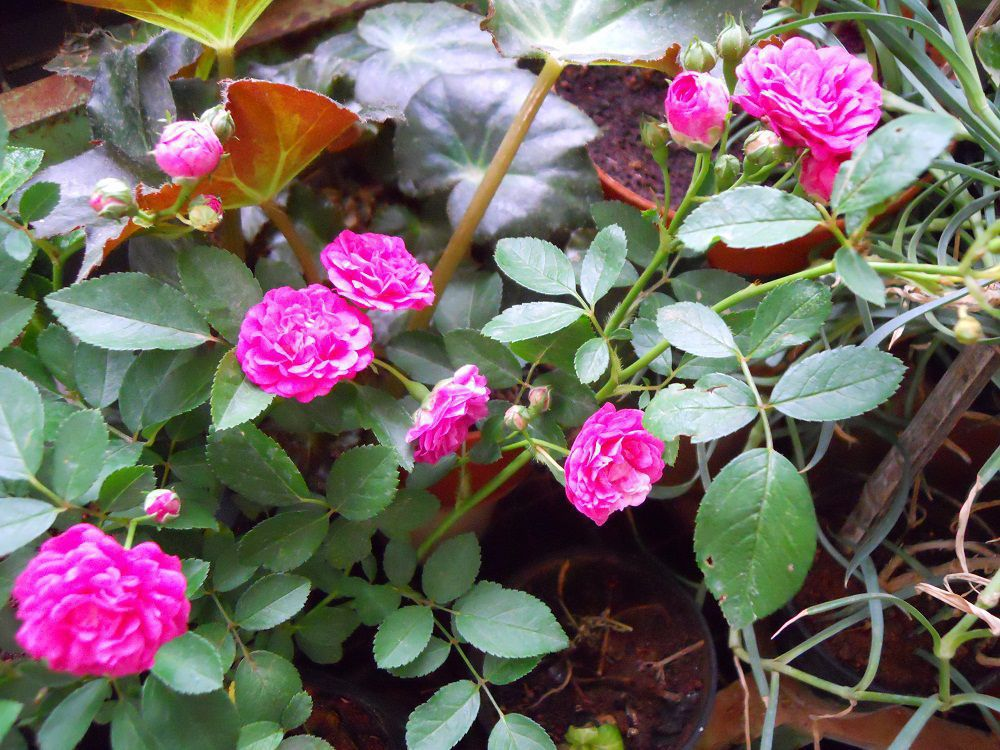 minature roses pink.jpg