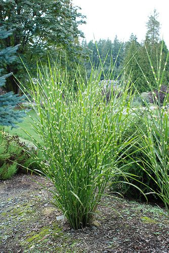 ornamental grasses gardening forums. Black Bedroom Furniture Sets. Home Design Ideas