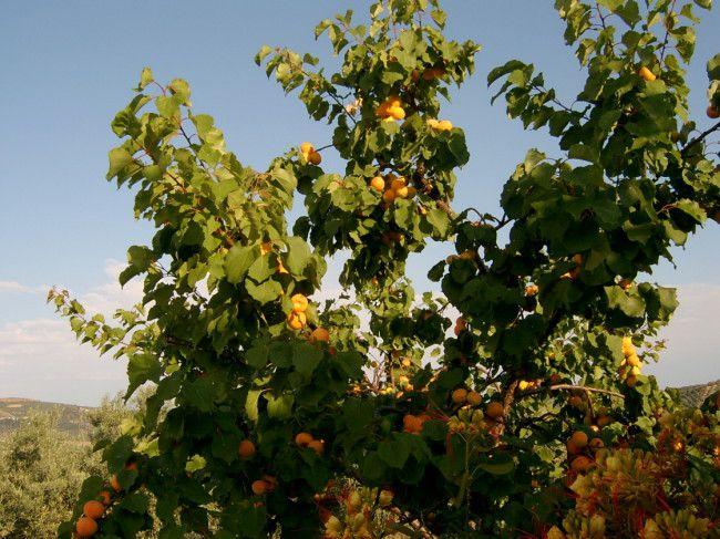 My Plants - Apricots - 650 -SV404017.JPG