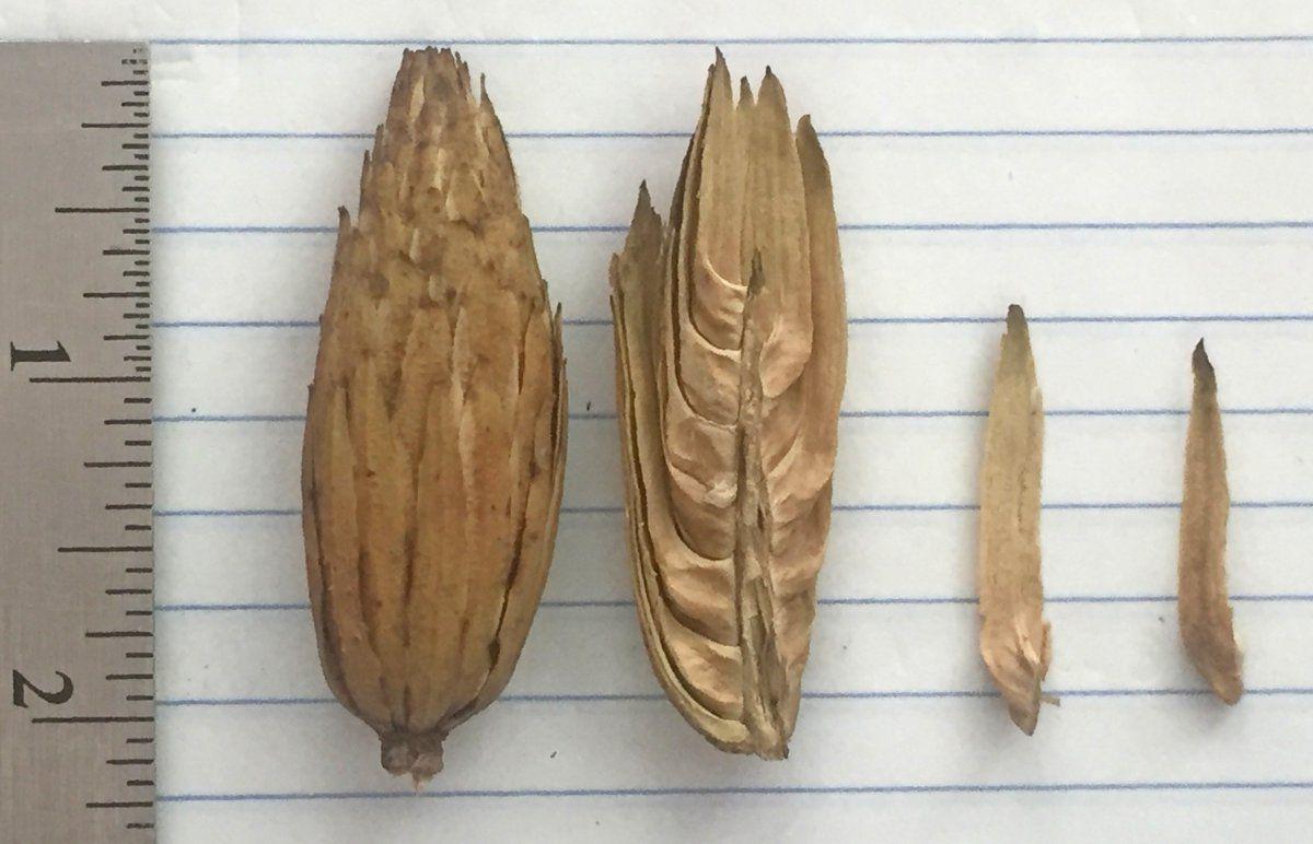 mystery seed florets.jpg