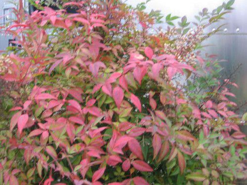 Ornamental Trees and Shrubs with reddish purple foliage ... Nandina Domestica Compacta