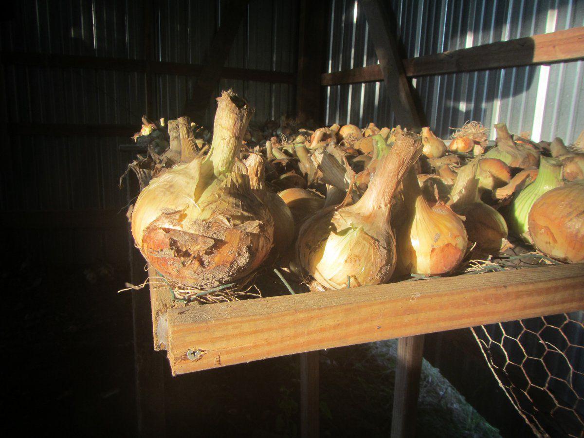 onion harvest 2019.JPG