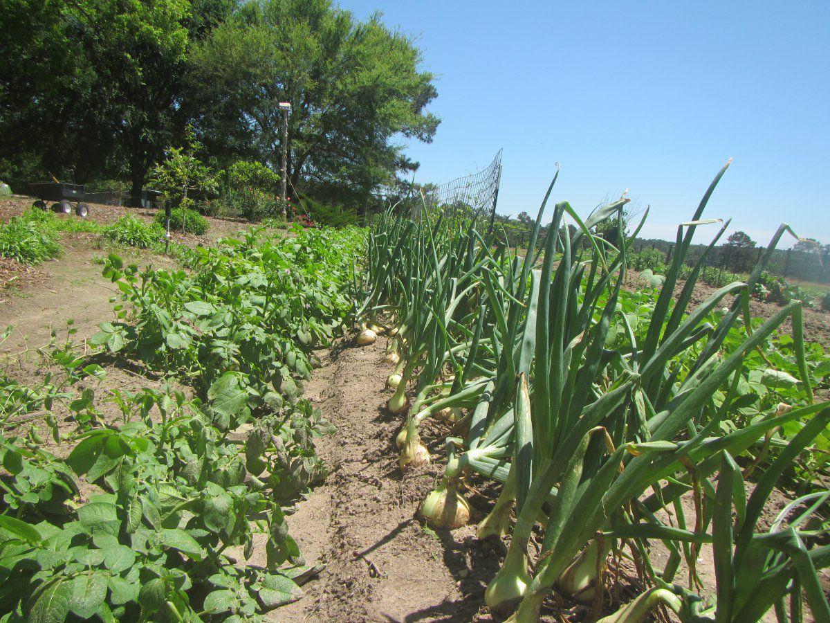 onion harvest 2020.JPG