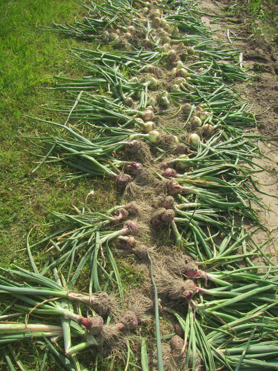 onions 2 2021.JPG