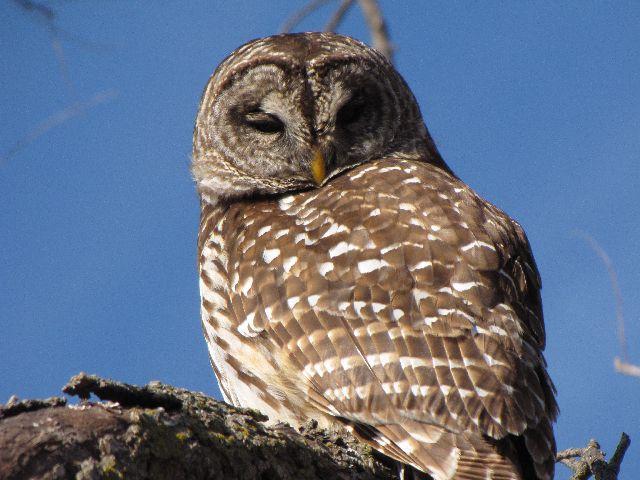 owl - close - 12-10-09.jpg