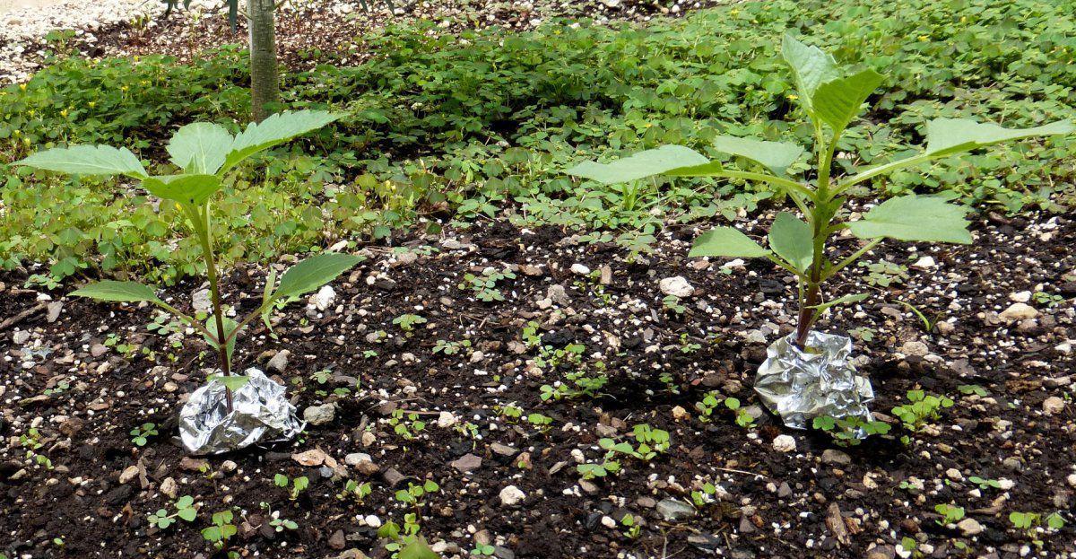Best way to keep slugs out of garden gardening forums for How to keep slugs out of garden