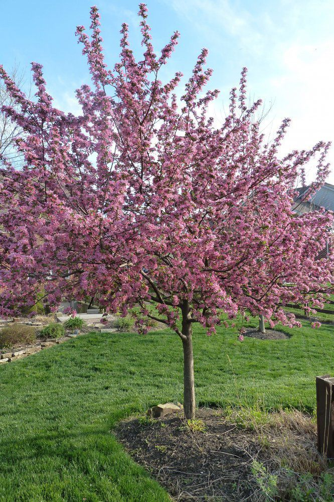Ornamental trees for zone 6 for Dwarf ornamental trees for zone 4