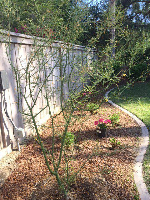 Palo Verde Tree.JPG