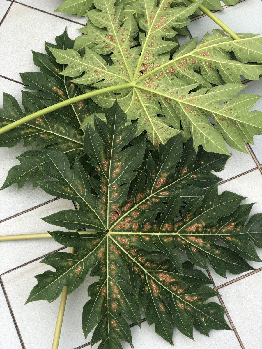 Papaya Leaf 1.JPG