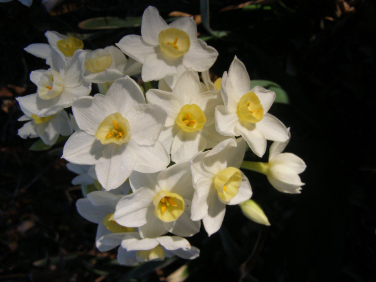 paperwhites close-up.JPG