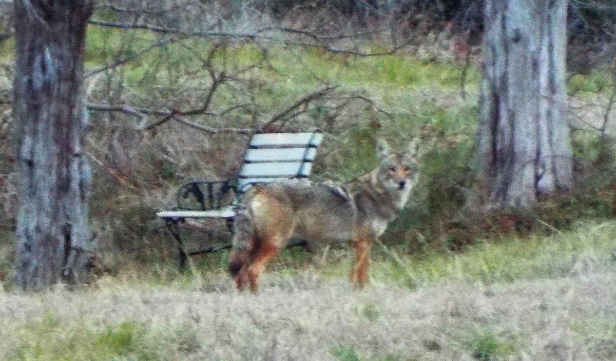 pasture coyote.jpg