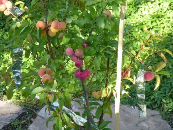 Peach-Plum-Cocktail tree.jpg