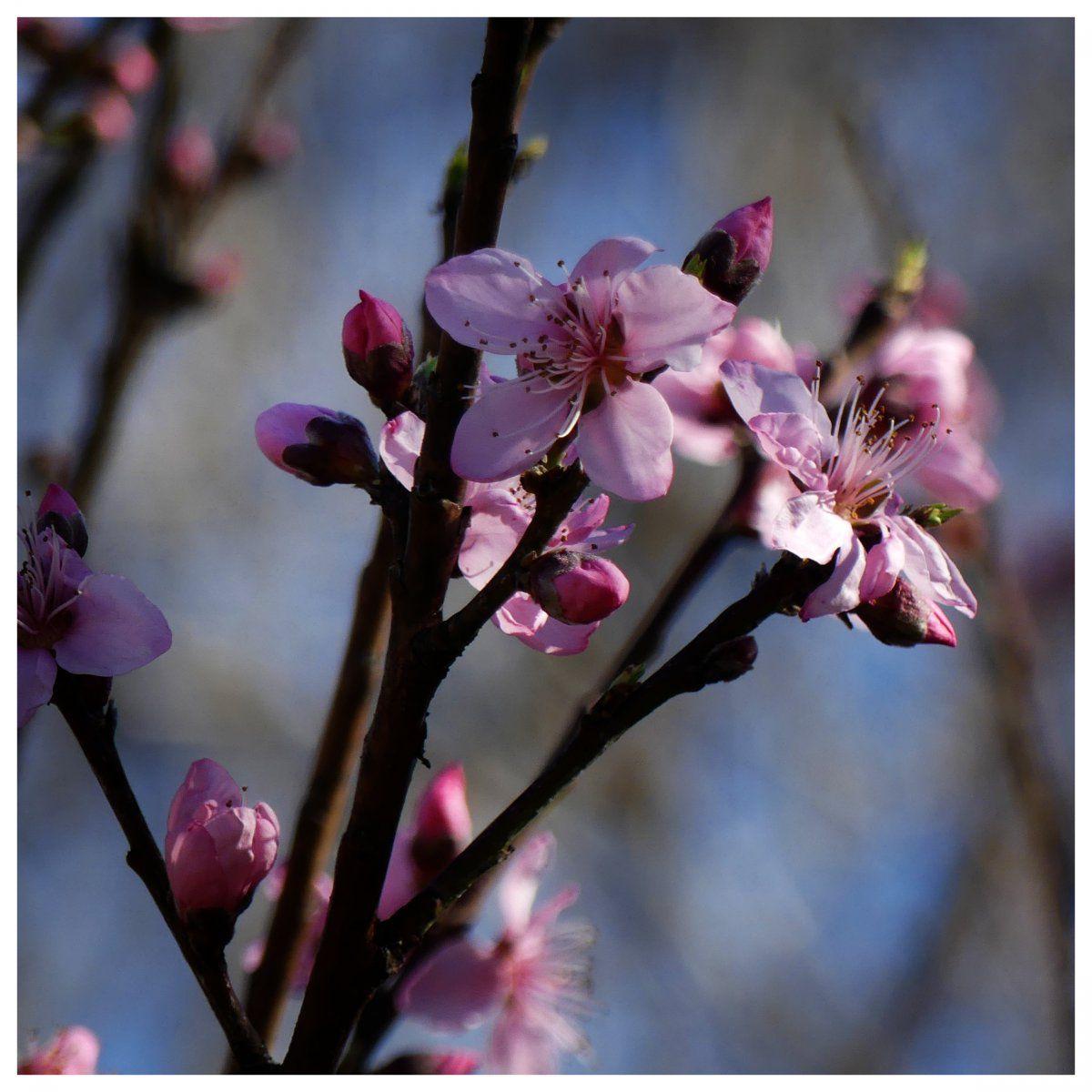 peach_blossom_2.jpg