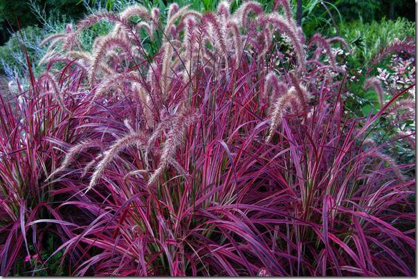 Ornamental grasses gardening forums for Different kinds of ornamental grasses
