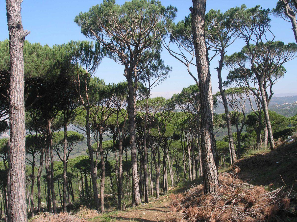 Pine pruning Lebanon.JPG