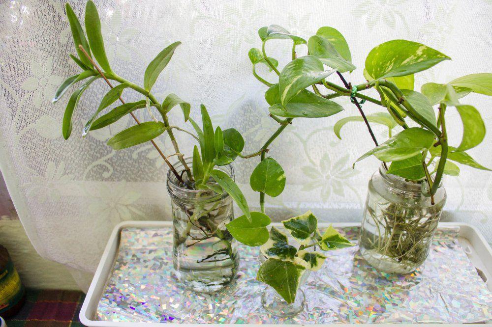 Growing your indoor plants in water gardening forums for Low water indoor plants