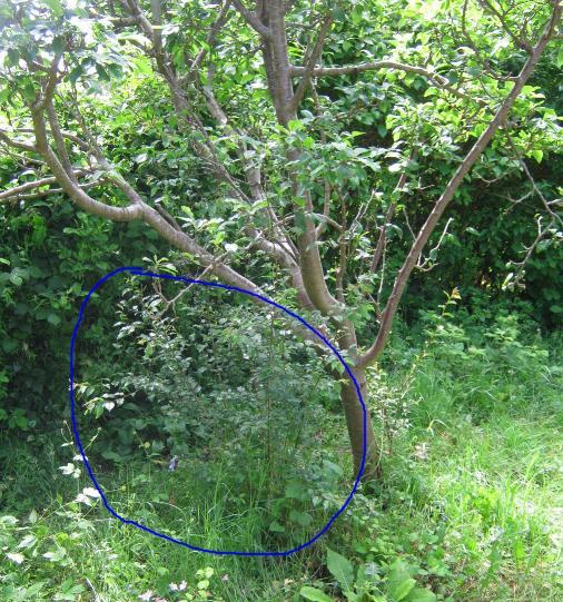 plumbtree-rootgroth.JPG
